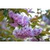 Парк Киото цветет сакура фото 3