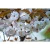 Парк Киото цветет сакура фото 4