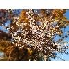 Аномальное цветение осени. На столичном бульваре цветет сакура